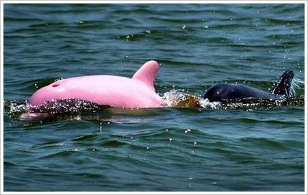pink dolphin 1358282c