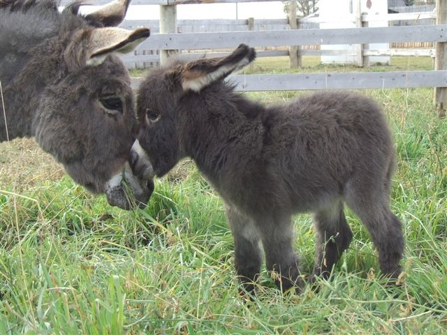 baby-donkey-with-mommy