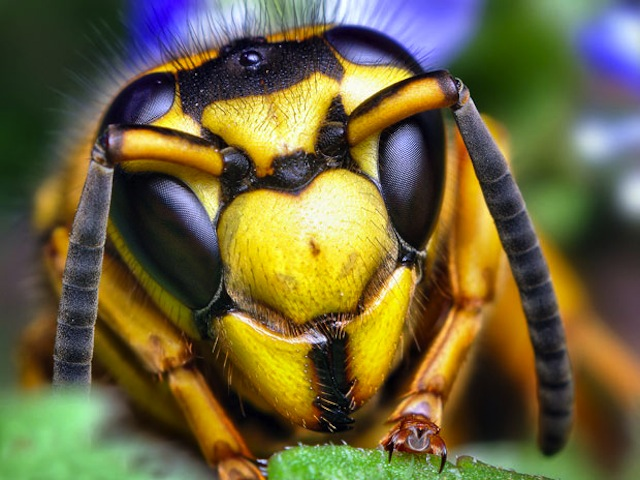 insect-eyes-wasp_1821841i