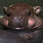 Baby-hippo-is-cute