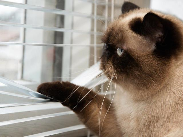 cat-looking-out-window-blinds