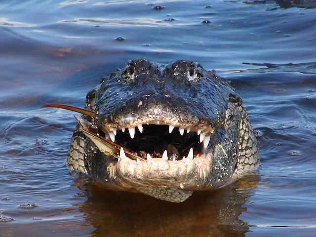 Close_up_front_of_adult_alligator_reptile_alligator_mississippiensis