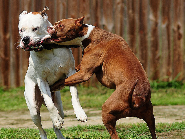 dog-fight-pitbull-Favim.com-156499