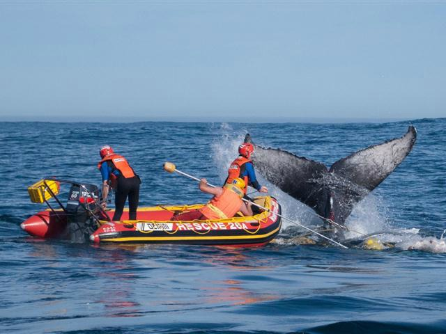 June 21st 2011 A Humpback whale that became entangled in fishing nets was freed by members of the SOuth Africa whale Disentanglement Network off the West Coast .Rescuers are seen here trying to cut the ropes of the whale Picture by Chad Chapman
