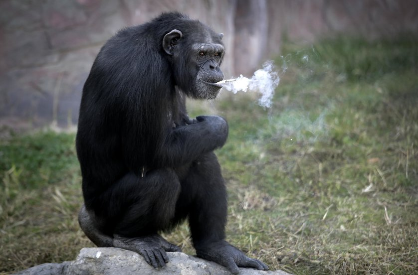 """Azalea, a 19-year-old female chimpanzee whose Korean name is """"Dallae,"""" smokes a cigarette at the Central Zoo in Pyongyang, North Korea Wednesday, Oct. 19, 2016. According to officials at the newly renovated zoo, which has become a favorite leisure spot in the North Korean capital since it was re-opened in July, the chimpanzee smokes about a pack a day. They insist, however, that she doesn't inhale. (AP Photo/Wong Maye-E)"""