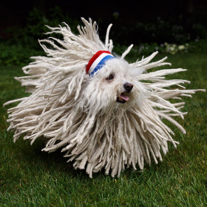 not-sure-if-dog-or-mop-hungarian-puli-mark-zuckerberg-dog