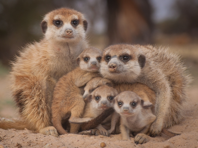 Carte Blanche S Investigation Into Illegal Meerkat Trading Video 2oceansvibe News South African And International News